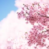 Cherry Blossom [LG Home+]